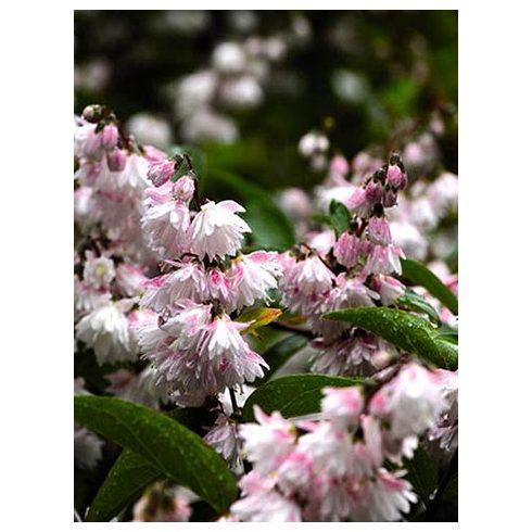 Gyöngyvirágcserje, világosrózsaszín virágú, Deutzia scabra 'Pride of Rochester'