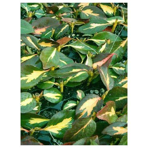 Kúszó kecskerágó, sárgatarka levelű, Euonymus for. 'Sunspot'