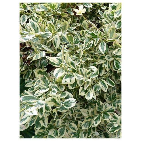 Japán kecskerágó, fehértarka levelű, Euonymus jap. 'Bravo'