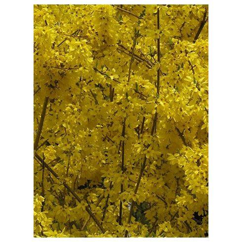 Aranyfa, Forsithya viridissima 'Weber's Favorit'
