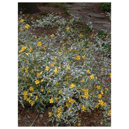 Boglárkacserje, tarka levelű,  Kerria japonica 'Picta'