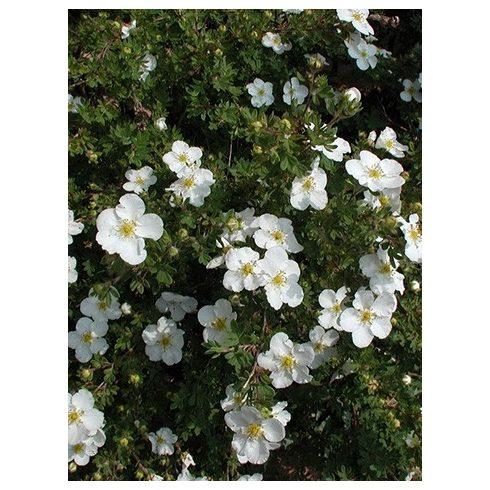 Cserjés pimpó, fehér virágú, Potentilla fruticosa 'Mount Everest'