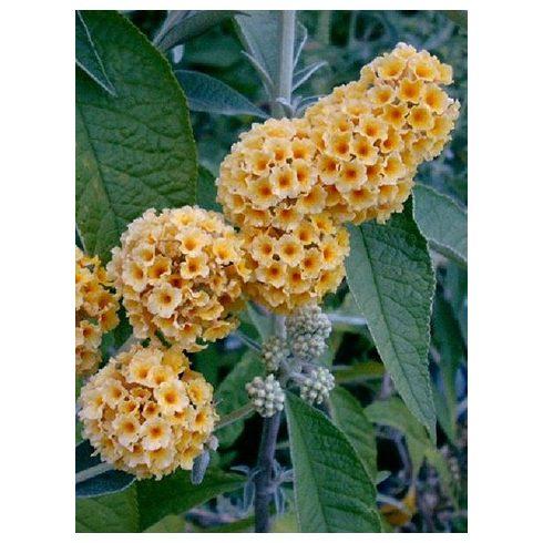 Nyáriorgona, sárga virágú, Buddleia x weyeriana 'Sungold'