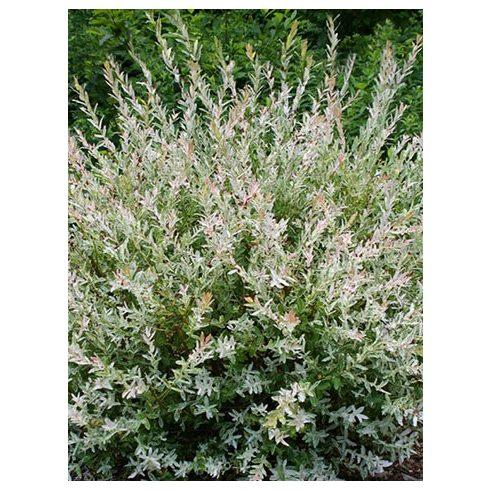 Tarka levelű fűz, Salix int. 'Hakuro Nishiki'