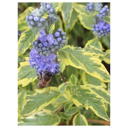 Kékszakáll, sárgatarka levelű, Caryopteris 'Summer Sorbet'