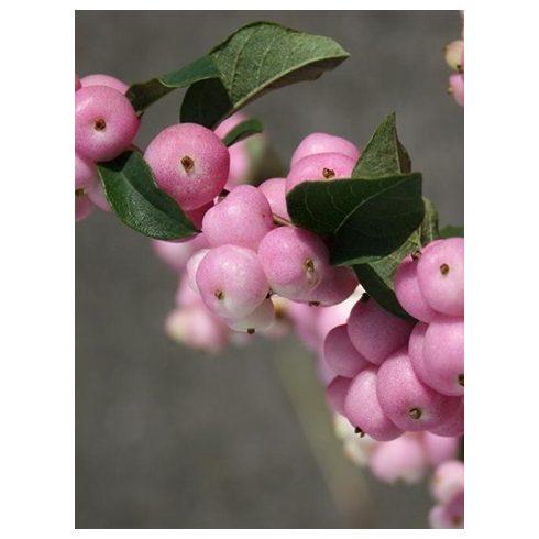 Hóbogyó, rózsaszín bogyós, Symphorycarpos doorenbosii 'Pink Pearl'