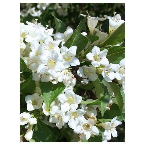 Rózsalonc, fehér virágú, Weigela flor. 'Alba'