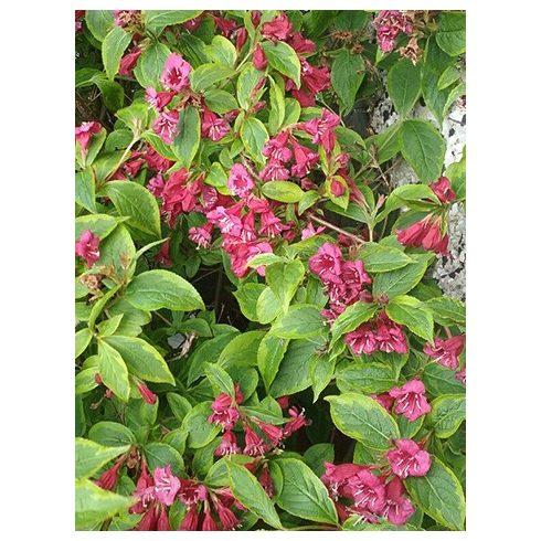 Rózsalonc, sárgatarka levelű, Weigela flor. 'Brigela'