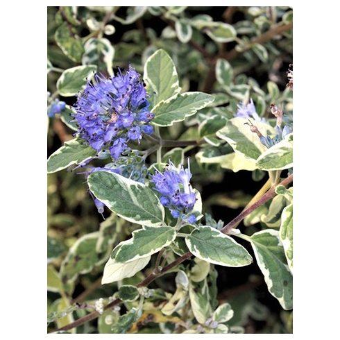Kékszakáll, fehértarka levelű, Caryopteris 'White Surprise'