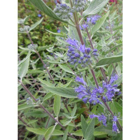 """Kékszakáll, Caryopteris clandonensis """"Heavenly Blue"""""""
