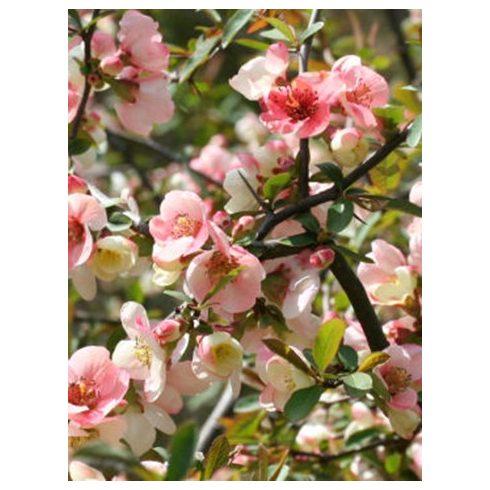 Japánbirs, rózsaszín virágú, Chaenomeles x superba 'Semperflorens'