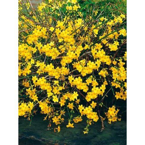 Téli jázmin, Jasminum nudiflorum