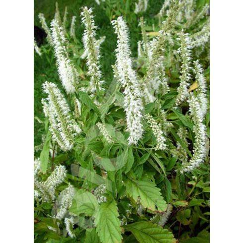 Cserjés menta, Szálkamenta, fehér virágú, Elsholtzia stauntonii 'Alba'