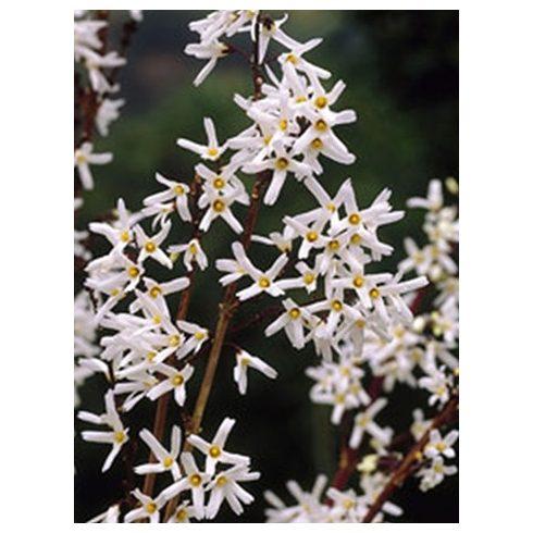 Koreai hóvessző, Abeliophyllum distichum