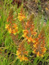 Macskafarok virág (Bulbine frutescens)