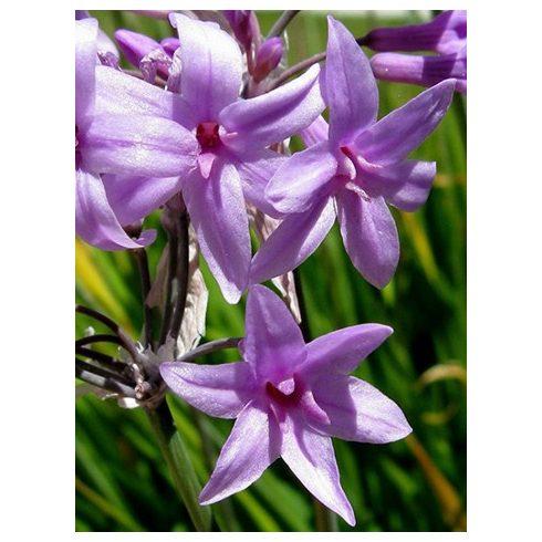 Fokföldi csillagvirág (Tulbaghia violacea)