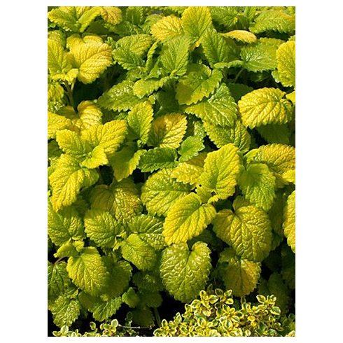 Citromfű sárga levelű (Melissa officinalis Gold leaf)