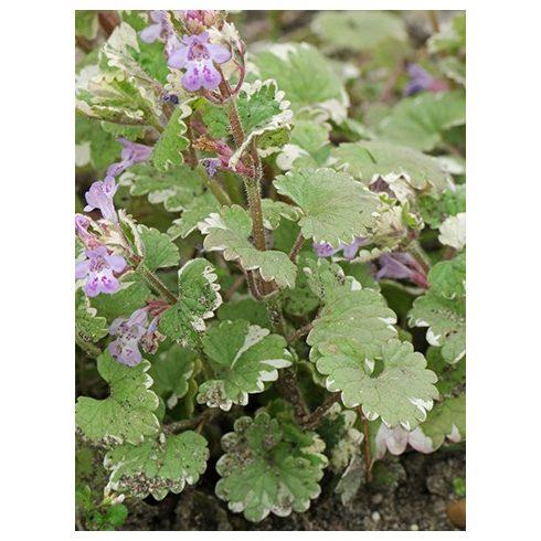Kerek repkény, fehér tarka levelű (Glechoma hederacea Variegata)
